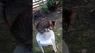 Котенок тойгер из питомника FairyBerendey