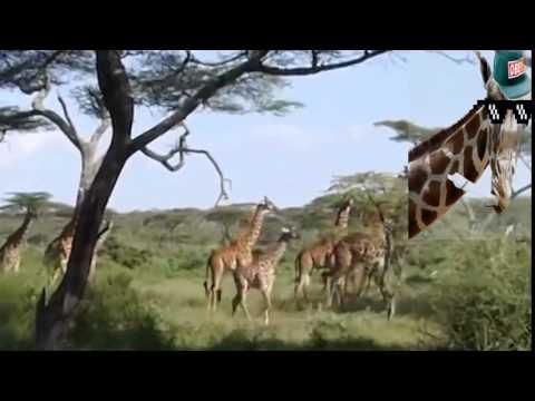 Giraffes are eating ur left ear
