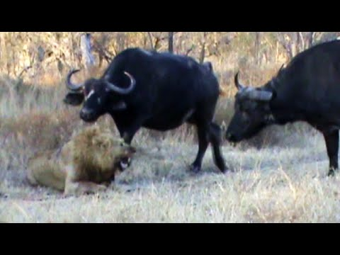 Buffaloes Stop 3 Male Lions From Killing Another Lion