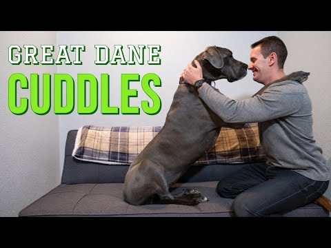 Do Great Danes like to cuddle?