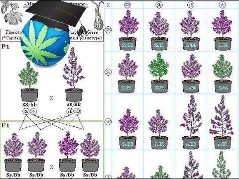 Cannabis Breeding Basics - Advanced Topic