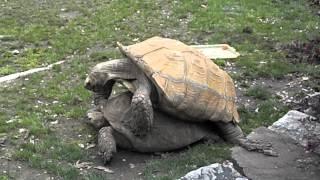 Turtles having sex at zoo