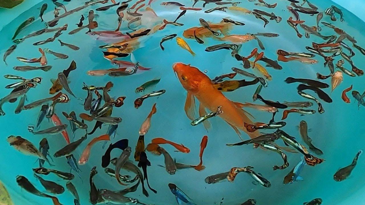 Guppy Guppies Electric Blue Ram Cichlid Goldfish Koi Carp Fish animals Videos P3