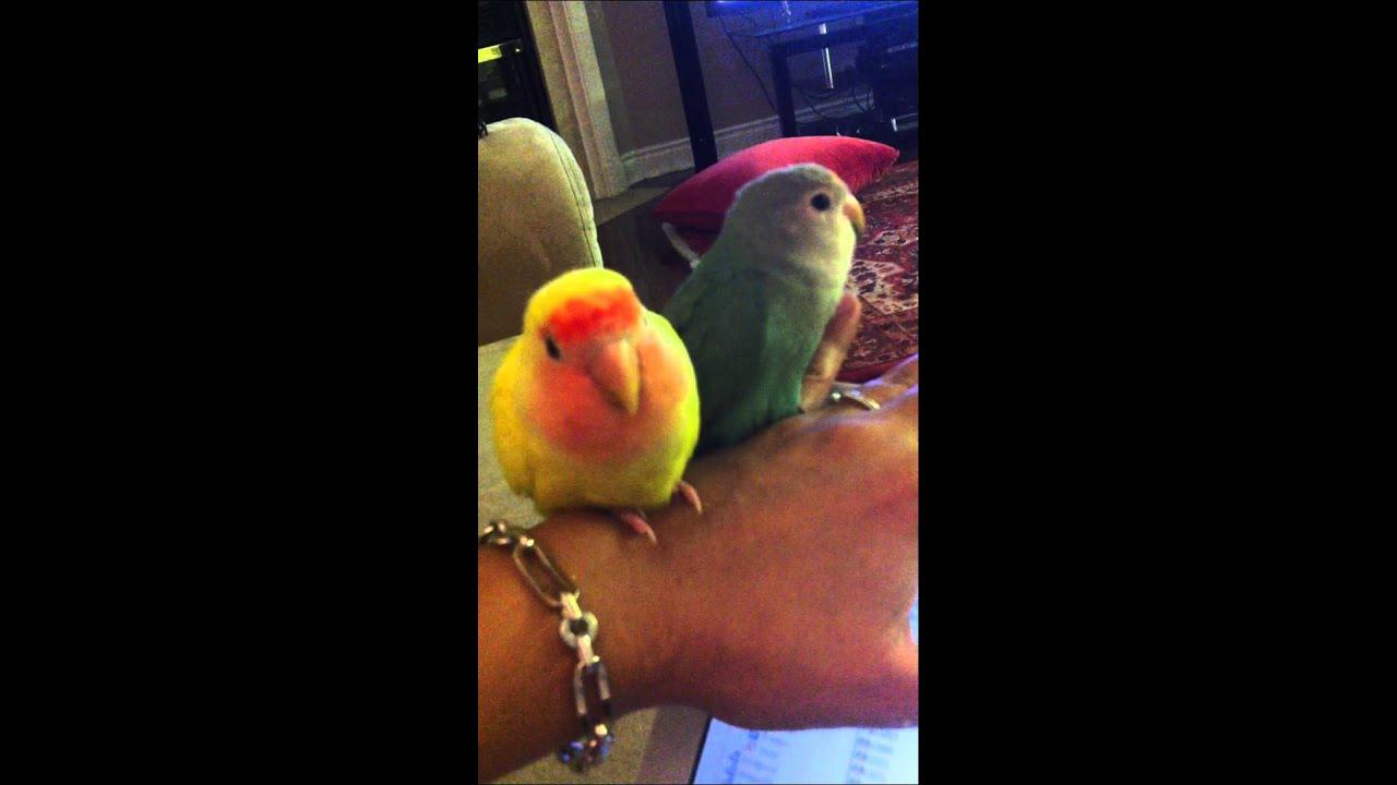 Lovebird tv series