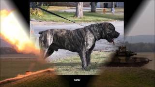 Tank Top Quality Boerboel