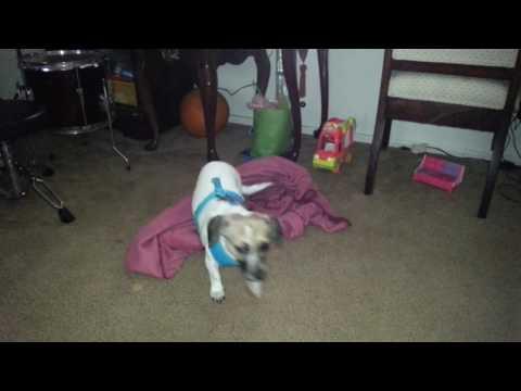 "Smart Dog ""Chochi"""
