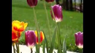 100 Tulips in my garden @ MA