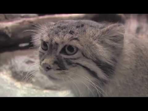 Степной дикий кот манул. Как выглядит и где обитает?