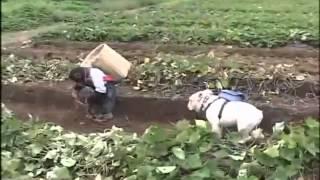 Phim Nhat Ban | Đười Ươi và chó đi đào Khoai Lan Coi và cười té ghế Tại nhật bản | Duoi Uoi va cho di dao Khoai Lan Coi va cuoi te ghe Tai nhat ban