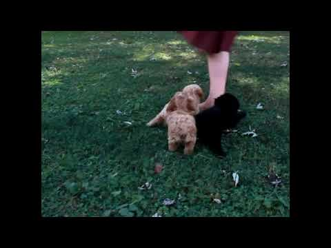Toy Poodle Mix Puppies For Sale Steve Kauffman