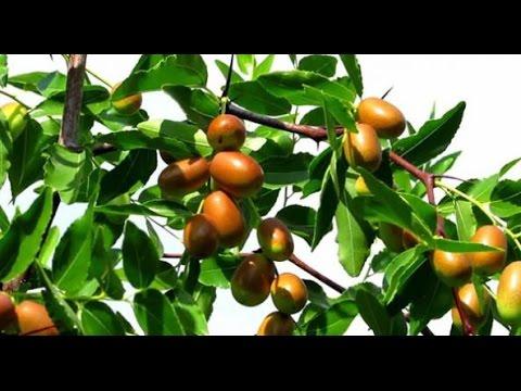 Зизифус описание, выращивание, уход, полезные советы