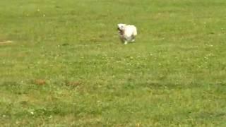 Leah, The Cairn Terrier, Runs A Large Lure Course