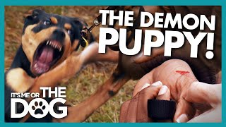 Demon Puppy Draws Blood During Tantrum! |  It's Me or The Dog
