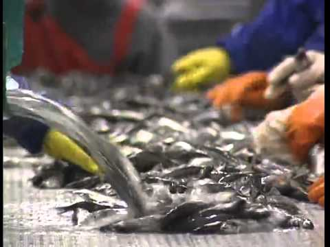 Caplin  Handling and Processing in Newfoundland  Labrador