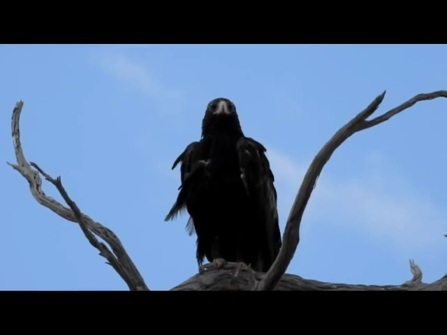 The Majestic Wedge Tail Eagle - Dumbleyung - The Great Southern - Western Australia
