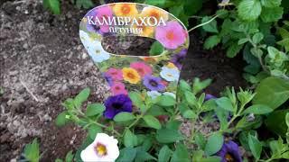 Покупки для моего сада - колибрахоа, земляника Эльсанта и др...