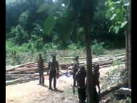 Teak wood manual harvesting time at plantation in Ghana