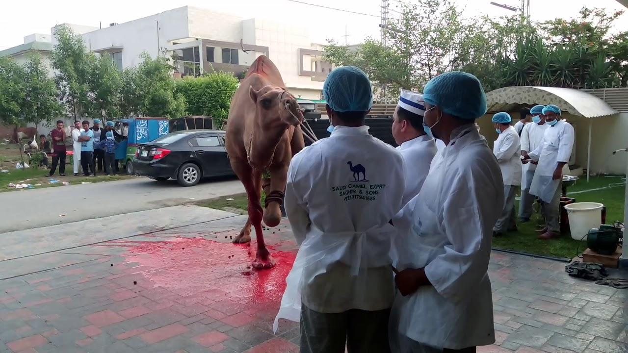 Download Masha Allah Best Camel Saudi Camel Exprt Saghir Ahmad and son's