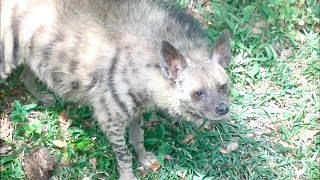 シマハイエナ striped hyena マレーシア国立動物園 Zoo Negara Malaysia