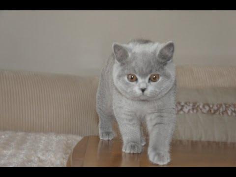 Kanada, Jessi of Amazing Aisha*PL  -   British Shorthair, kittens, Koty brytyjskie-rasowe