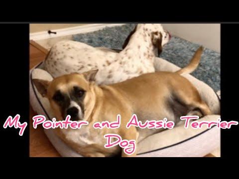 My Pointer and Aussie Terrier Dog