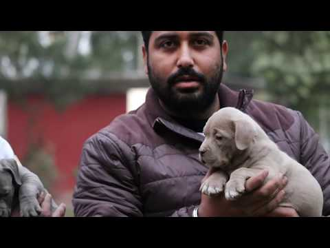 American Bullies Puppies Available || MS Kennel In Amritsar || Scoobers
