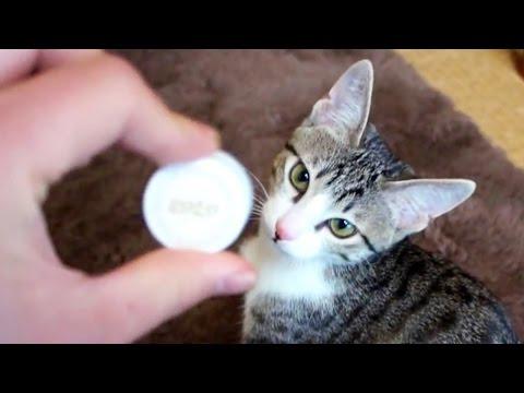 ペットボトルのキャップで取って来いの遊びをする子猫(おはぎ)です。