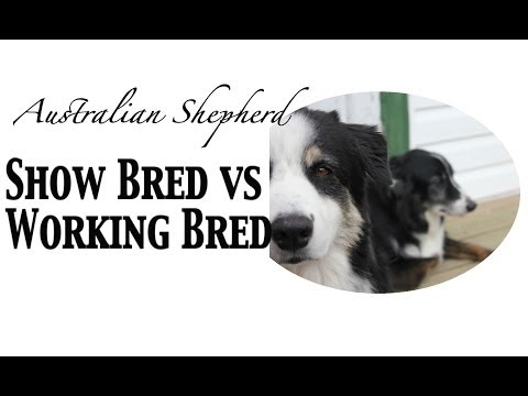 Show Bred vs Working Bred Australian Shepherds