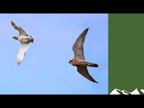 Houbara Bustard Hunting With Falcons