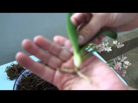 Орхидея Фаленопсис, отсаживаем детку (прикорневая детка), смотрим корни