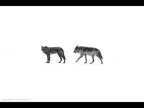 Wolves howling in Yellowstone