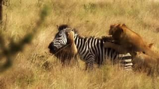 Lions Catch an Zebra - Documentary 2017