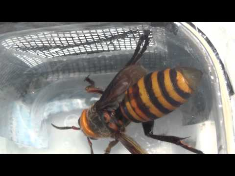 Asian Giant Hornet Queen