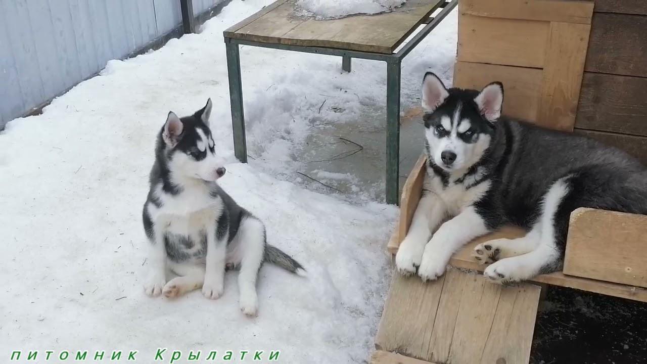 Предлагаем щенков сибирсого хаски, родились 18 и 20 декабря 2020 года