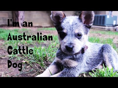 Rocket the Australian Cattle Dog