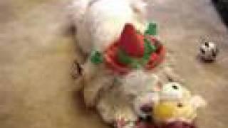 Cocker Spaniel Opening Christmas Presents - 2007