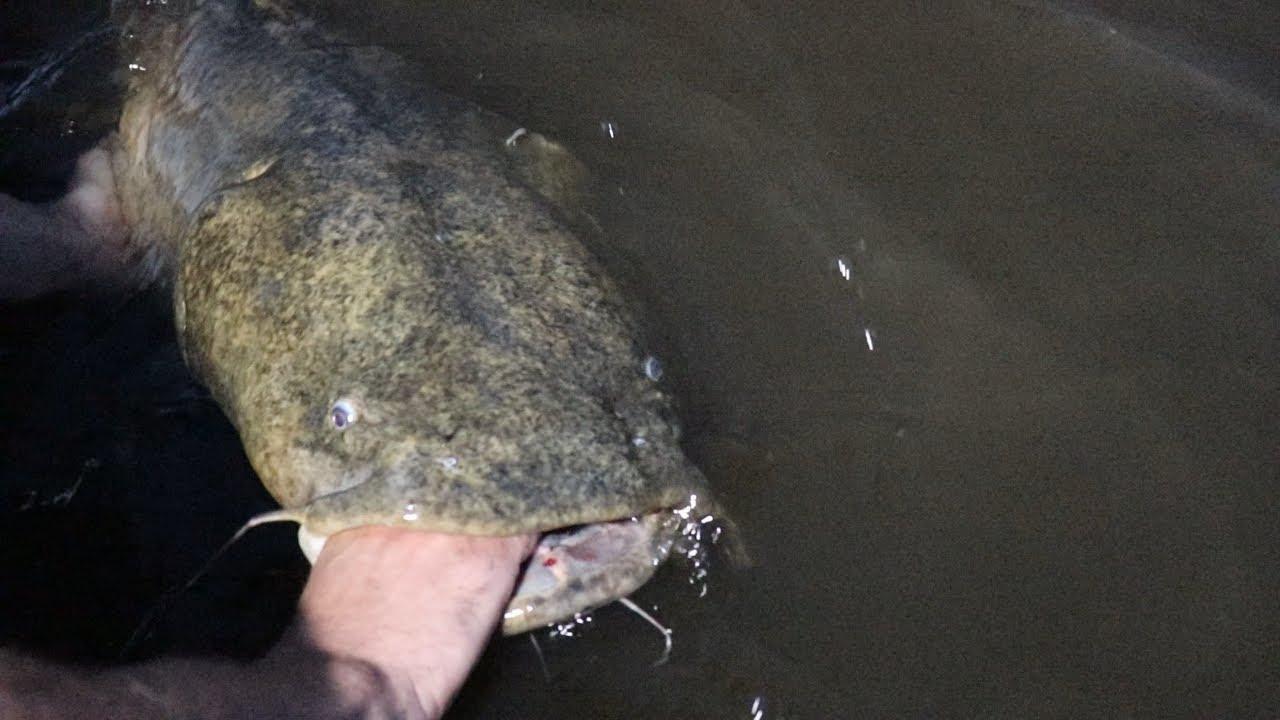 Catching BIG Summer Flathead Catfish in SHALLOW water