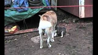 Siberian Husky Puppies - 1st Litter
