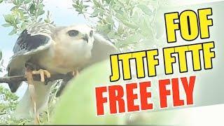 Download lagu Cara Melatih Burung Elang - Alap alap Tikus  / Training Steps for Black Winged Kite