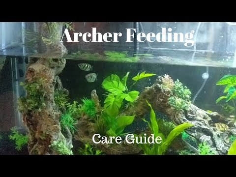 Archer Fish Feeding And Care Guide
