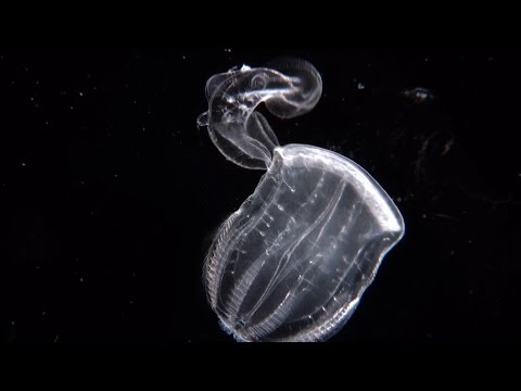 Swallowed Whole - A Comb Jelly Preying On A Comb Jelly