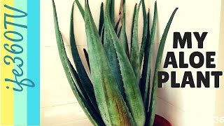 Is Buying An Aloe Vera Plant a Good Investment?