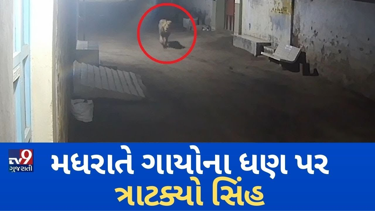 Download Lions caught on camera chasing Cows in Dhari, Amreli | Tv9GujaratiNews
