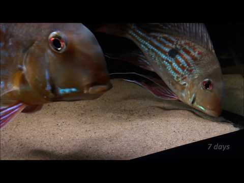 geophagus-winemilleri-fry-from-0-to-80-days