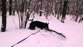 Овчарка Джильда. Собака в добрые руки