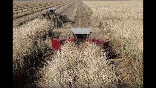 Whole Stalk Cane Cutting and Loading - Louisiana 2019 Grinding 4K