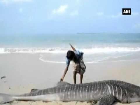 Watch: Giant sperm whale washed ashore on Pamban Beach  - ANI News