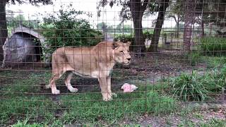 Picky eater Cameron the Lion gets a whole turkey for lunch.