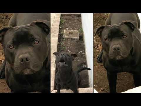 Staffordshire bull terrier Xenon - Jacks 8 months
