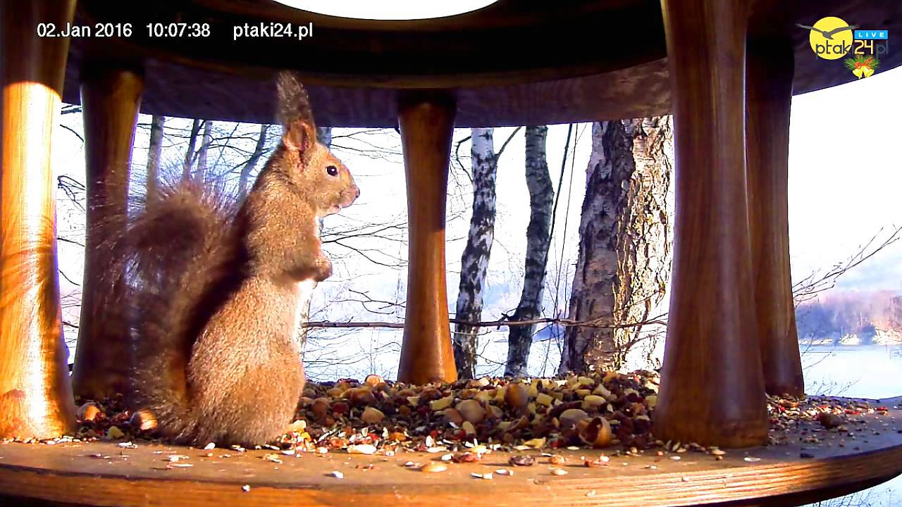 Wiewiórka, dzięcioł średni i sikorki w karmniku nad Soliną